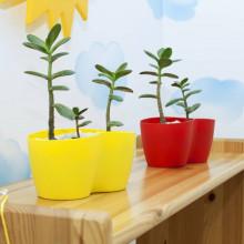 Саксия Кактусник за 2 и 3 растения